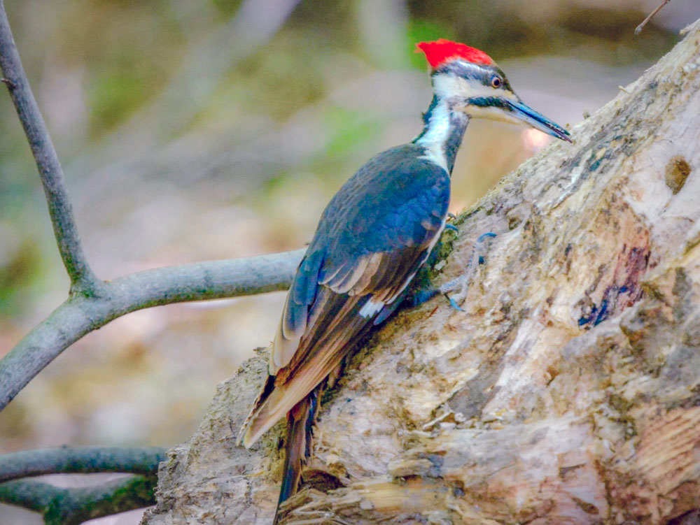 Woodpecker by JT Durning